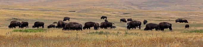 Bison & x28; Buffalo& x29; Flock Royaltyfri Fotografi