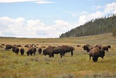 bison yellowstone Royaltyfria Foton