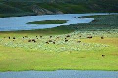 bison yellowstone Royaltyfri Foto