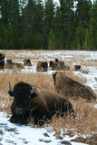 bison yellowstone Royaltyfri Fotografi