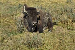 Bison, Yellowstone Royalty Free Stock Image