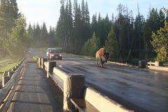 bison yellowstone Arkivbilder