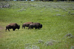bison yellowstone Royaltyfria Foton