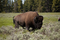 Bison or Yellowstone Royalty Free Stock Photos