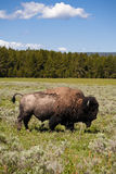 bison yellowstone Royaltyfria Bilder