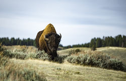Bison Yellowstone stockfotografie