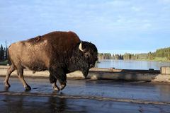 Bison,Yellowstone national park Stock Images