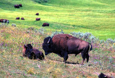 Bison - Yellowstone National Park Stock Photo
