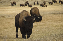 Bison in Yellowstone National Park Royalty Free Stock Photos