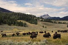 Bison. In Yellowstone National Park Royalty Free Stock Photo
