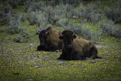 Bison. In Yellowstone National Park Royalty Free Stock Photography
