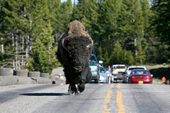 Bison in yellowstone national park. Crossing fishing bridge, north american bison holding up traffic Stock Image