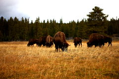 Bison. Yellowstone National Park, 2014 Fall Royalty Free Stock Photo