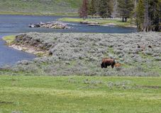 Bison in Yellowstone National Park. Grazing in a river Royalty Free Stock Photos