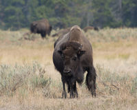 Bison in Yellowstone National Park Royalty Free Stock Image