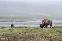 Bison in yellowstone national park. On a rainy day with fog that was thick stock image
