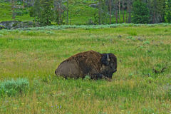 Bison at Yellowstone National Park. Bison relaxing at Yellowstone National Park Royalty Free Stock Photo