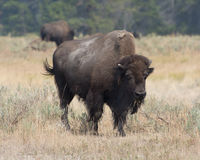 Bison in Yellowstone National Park. A bison in Yellowstone National Park`s Hayden Valley stock photo