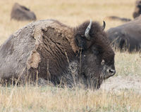 Bison in Yellowstone National Park. A bison in Yellowstone National Park`s Hayden Valley royalty free stock images