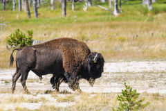 Bison of Yellowstone National Park, USA Stock Images