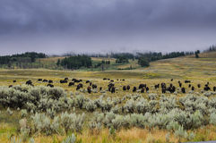 Bison of Yellowstone National Park, USA Royalty Free Stock Photos