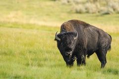 Bison of Yellowstone National Park, USA Royalty Free Stock Photo