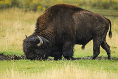 Bison of Yellowstone National Park, USA Stock Photo