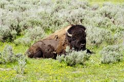 Bison  in Yellowstone national park USA Stock Photography