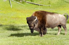 Bison  in Yellowstone national park USA. Wildlife in  Yellowstone national park USA - bison Royalty Free Stock Photo