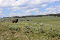 Bison Yellowstone. Yellowstone National Park where bison roam Stock Photos