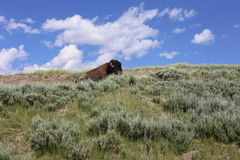 Bison Yellowstone. Yellowstone National Park where bison roam Stock Image