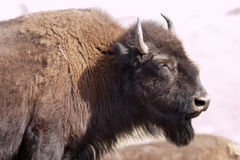 Bison in Yellowstone National Park, Wyoming Royalty Free Stock Photos