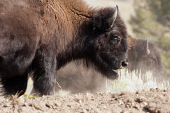 Bison in Yellowstone National Park, Wyoming Stock Photos