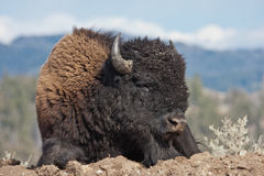 Bison in Yellowstone National Park, Wyoming Royalty Free Stock Image