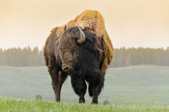 Bison in Yellowstone Stock Image