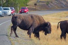 Bison stock photos