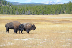 Bison at Yellowstone National Park, Wyoming Royalty Free Stock Photography