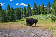 The bison in Yellowstone National Park, Wyoming. USA royalty free stock photo