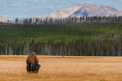 Bison in Yellowstone NP Royalty Free Stock Photos