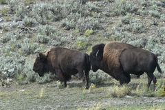 Bison In Yellowstone Park fotos de archivo
