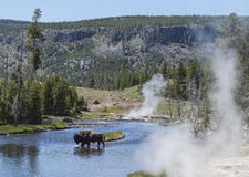 Bison in Yellowstone River Stockbild