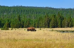 Bison in Yellowstone, Wyoming Royalty Free Stock Photography