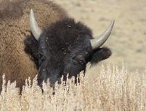 Bison, YNP Photographie stock