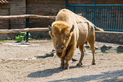 Bison in zoo Royalty Free Stock Image