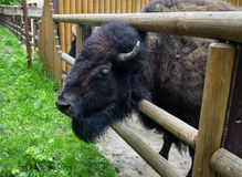 Bison at the zoo Stock Images