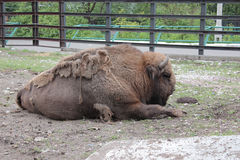 Bison at the zoo Stock Photography