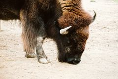 Bison in a zoo Stock Photo