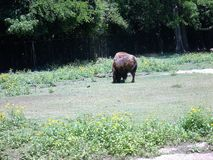 Bison at zoo Royalty Free Stock Photography