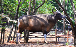 Bison in the zoo Thailand Stock Images