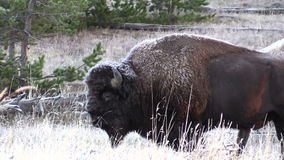 Bison Zoom in stock footage